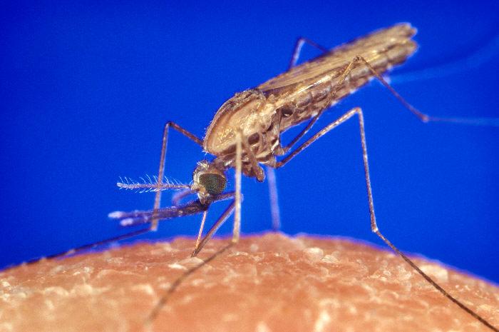 Le paludisme (du latin paludis, « marais »), aussi appelé malaria (de l'italien mal'aria, « mauvais air »), est une maladie infectieuse due à un parasite du genre Plasmodium, propagée par la piqûre de certaines espèces de moustiques anophèles. 80 % des cas sont enregistrés en Afrique subsaharienne.