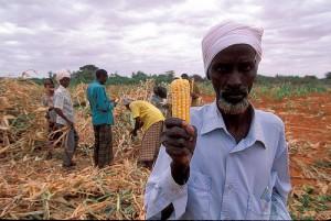 Compte tenu des enjeux économiques très importants qu'il représente au niveau mondial et particulièrement aux États-Unis, le maïs est un champ d'application privilégié pour les OGM (80% du maïs aux Etats-Unis provient de Monsanto).