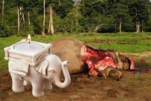 Les éléphants ont été particulièrement chassés pour leurs défenses, à tel point que dans certaines régions d'Afrique et d'Asie, leur patrimoine génétique serait en train d'évoluer. En réalité, cette évolution vient probablement du fait qu'il existe naturellement des éléphants non munis de défenses ; ces éléphants n'étant pas chassés pour l'ivoire peuvent se reproduire plus longtemps que les éléphants avec des défenses