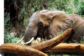 Les éléphants vivent encore dans environ 37 pays africains. Environ 55 pour cent de la population du continent se trouve en Afrique australe.