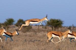 Cette gazelle a la particularité d'avoir des muscles spécifiques en forme de ressorts au niveau des cuisses ce qui lui permet d'atteindre des sauts jusqu'à 3.90 mètres de haut et 15 mètres de long !) et sa colonne vertébrale est très flexible